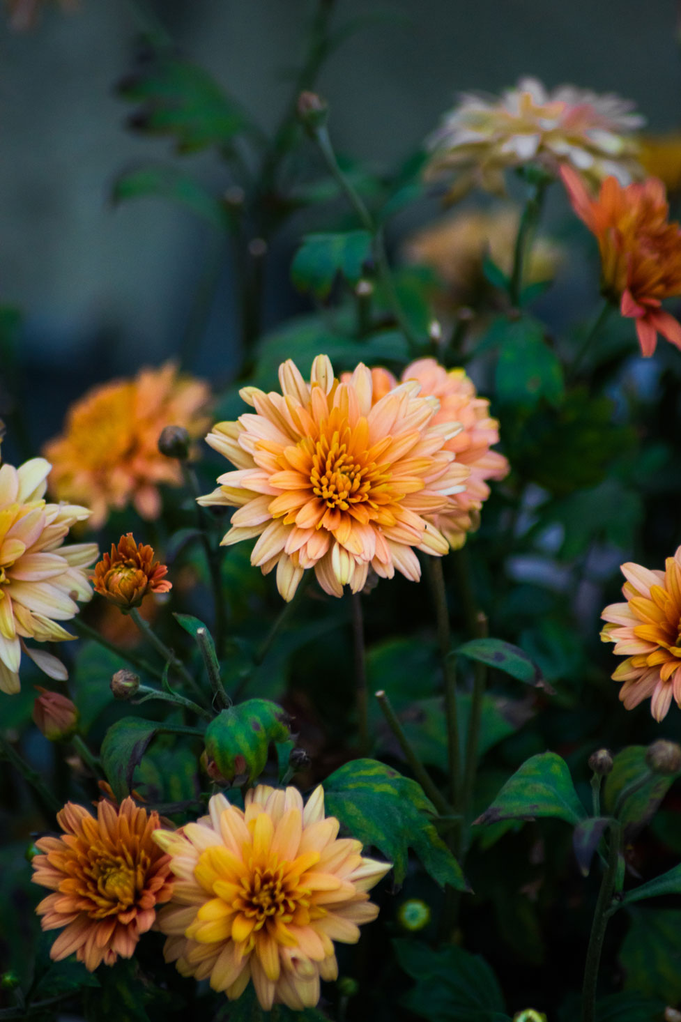 Orange Beautiful Flowers - Chrysanths