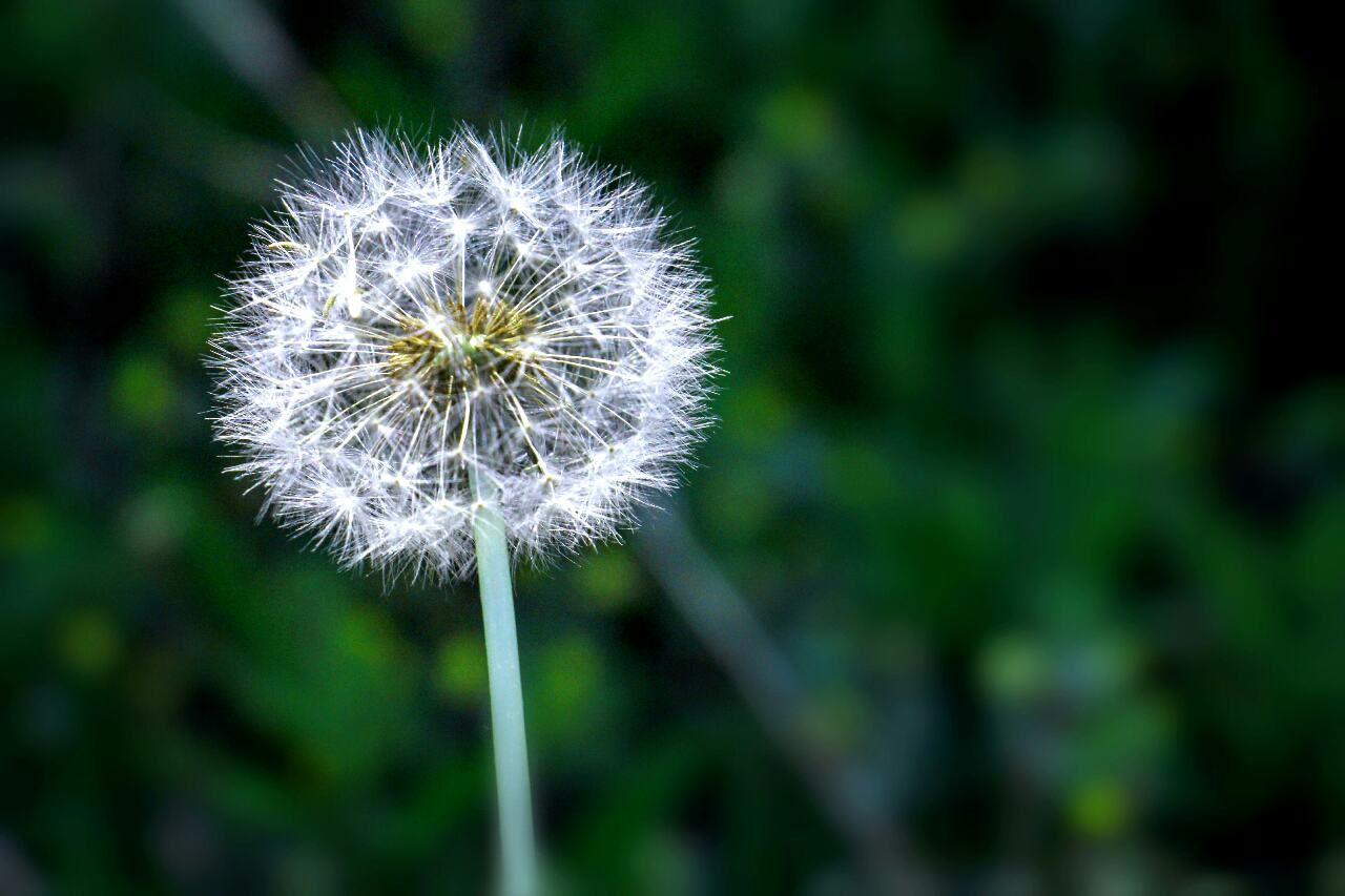 Blowball Dandelion Close-up
