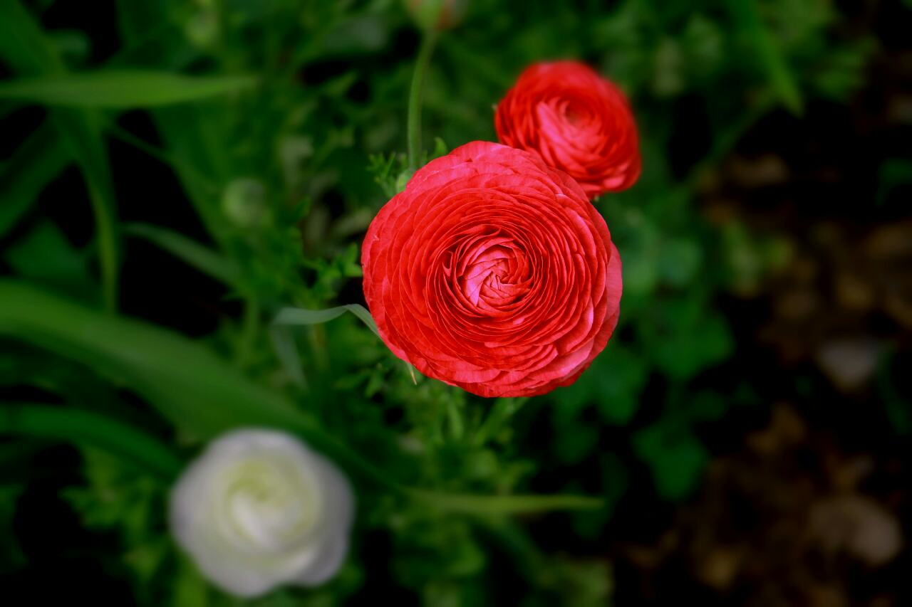 Persian Buttercup Red Rose