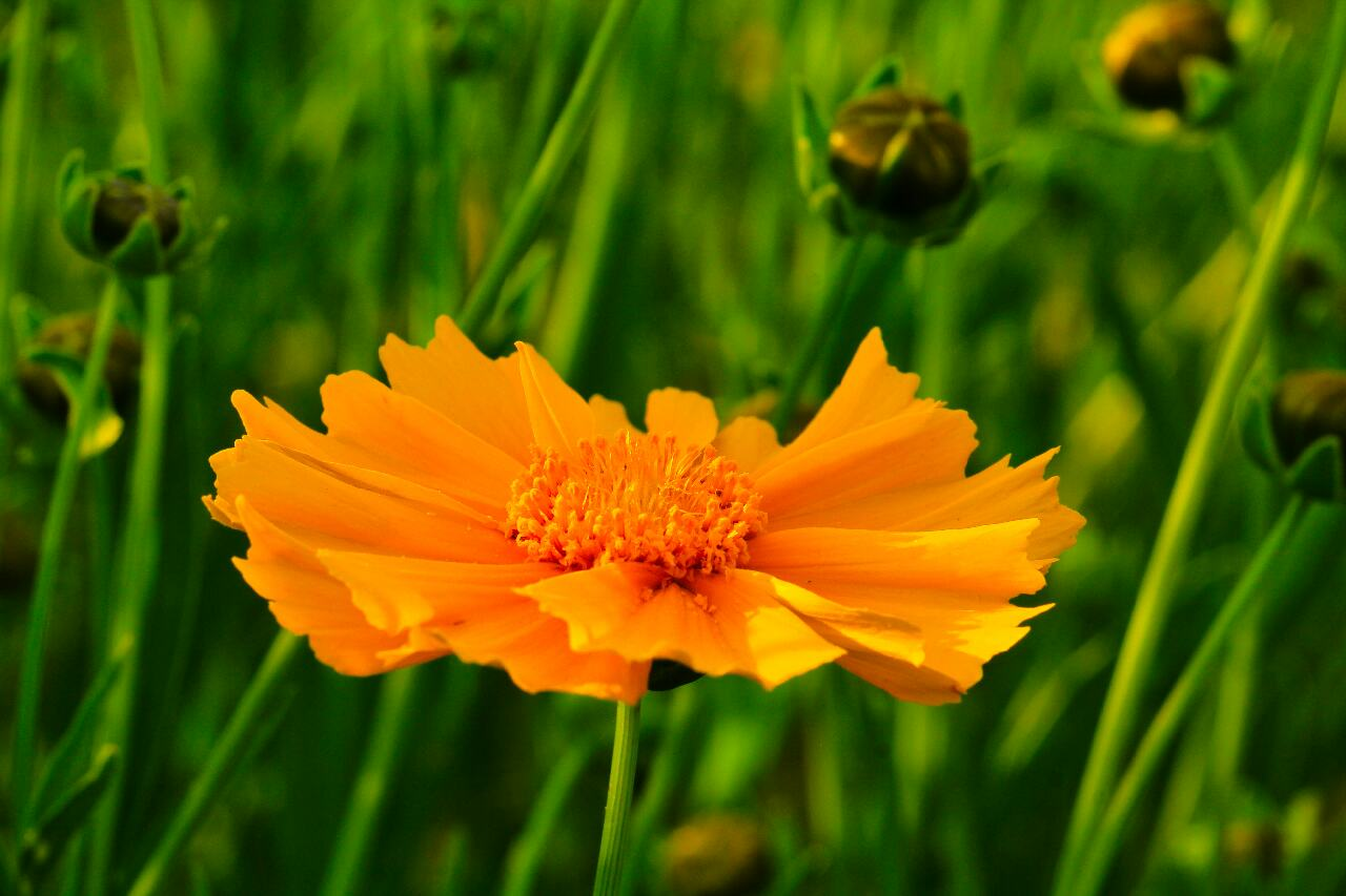 Sulfur Cosmos Beautiful Orange Flower