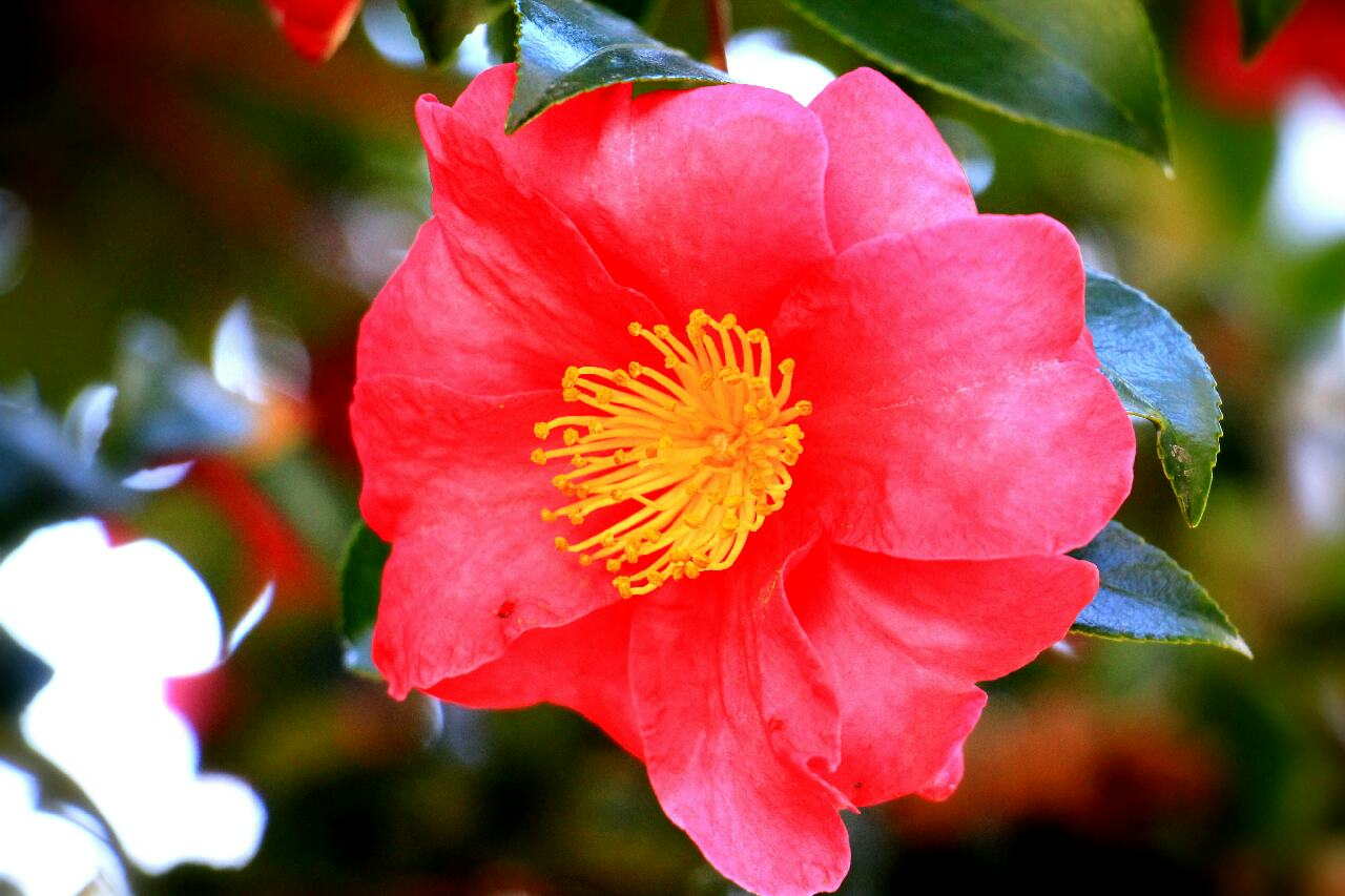 Sasanqua Camellia Beautiful Flower